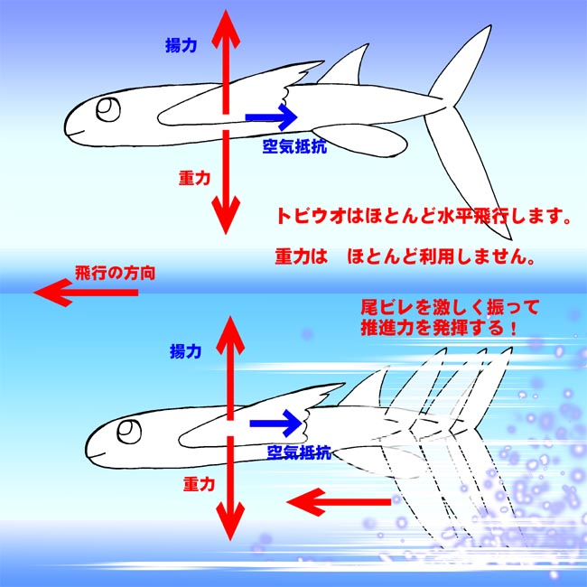 トビウオの水平飛行